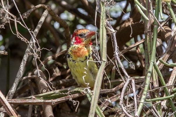 Tansania: Ohrenfleckbartvogel