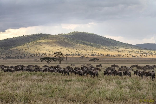 Gnu Migration in der Serengeti
