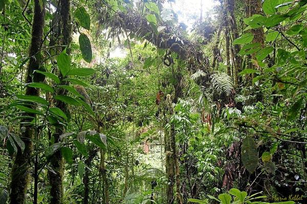 Urwald im Monteverde Nationalpark