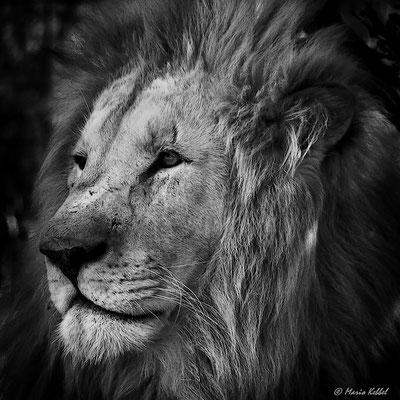 Südafrika: Löwe - Portrait