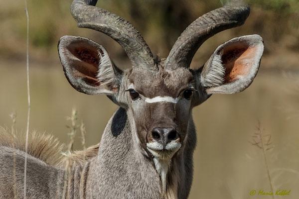 Südafrika: Kudu - Wachsamkeit