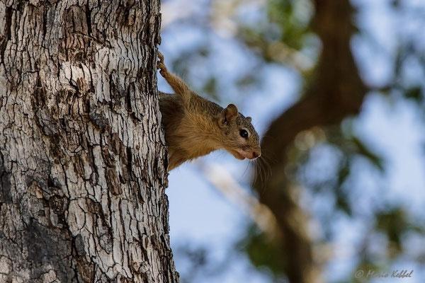 Südafrika: Rotschwanz-Hörnchen - Gefahr?