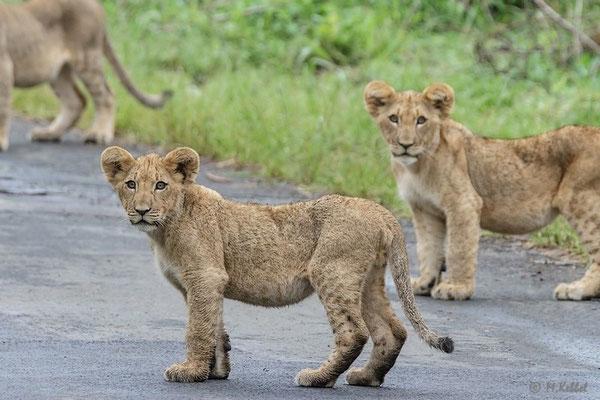 Südafrika: Löwe