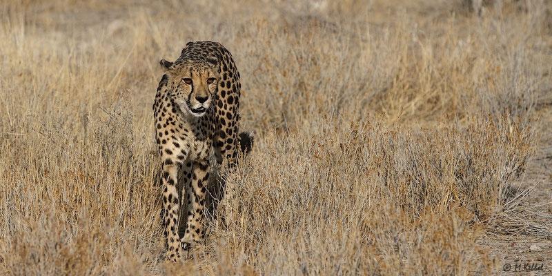 Namibia: Gepard