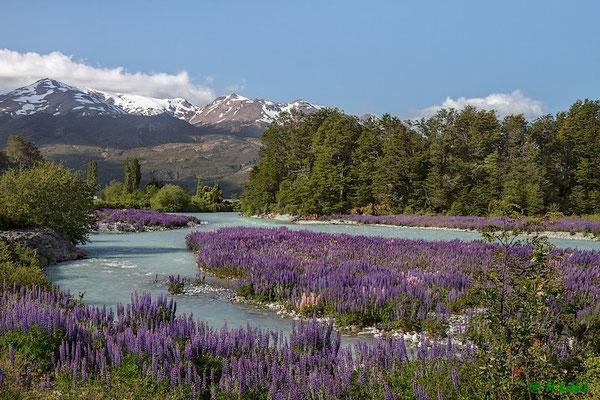 Chile: Ein Meer von wilden Lupinen