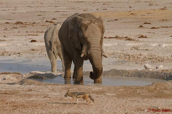 Elefanten mit Schakal