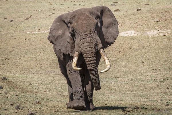 Tansania: Elefant