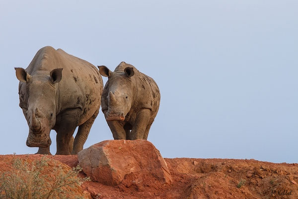 Namibia: Breitmaulnashorn mit Nachwuchs