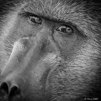 Südafrika: Pavian - Unter Beobachtung