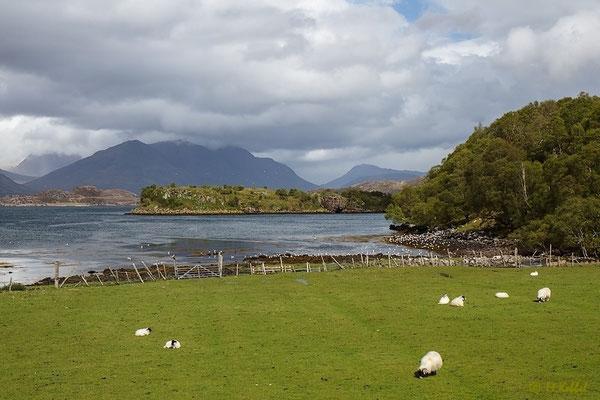 Schafsweiden am Loch Shieldaig
