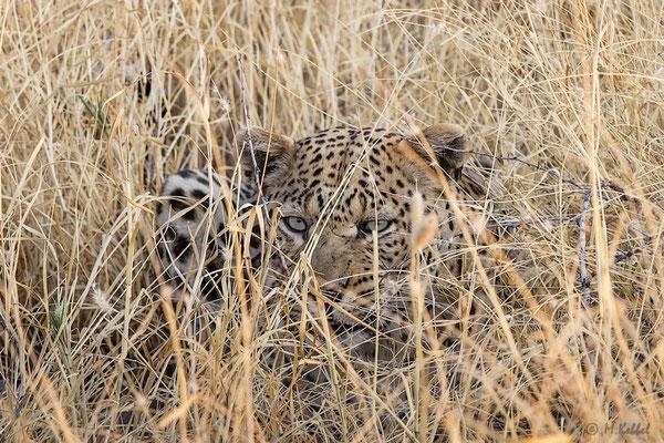 Namibia: Leopard