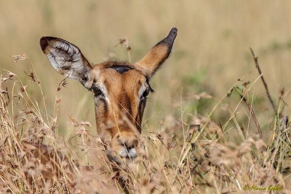 Südafrika: Impala - Versteck
