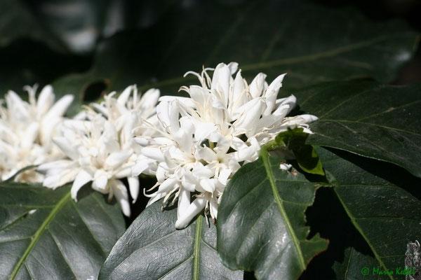 Wenn Kaffeepflanzen blühen