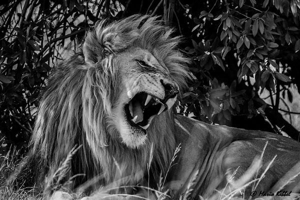 Südafrika: Löwe -  Warnung