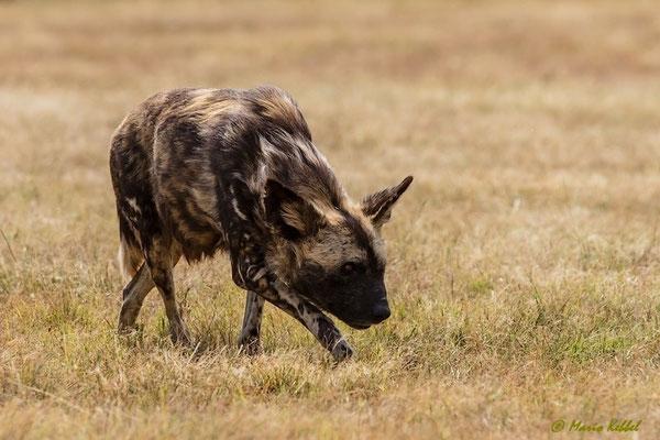 Südafrika: Wildhund - Auf Pirsch