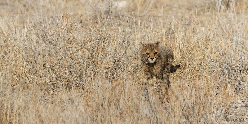 Namibia: Gepardennachwuchs
