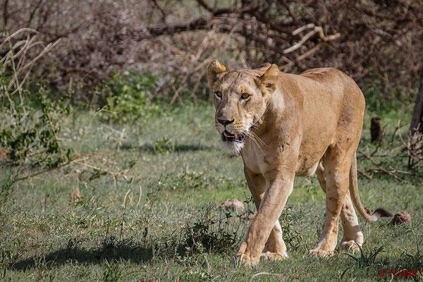Tansania: Löwe