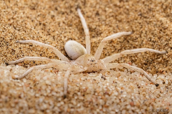 Namibia: Weißspinne (Dancing white Lady)