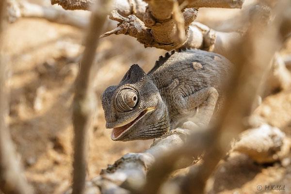 Namibia: Wüstenchamäleon