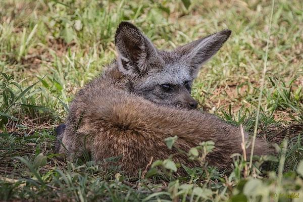 Tansania: Löffelhund