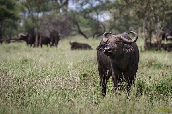 Tansania: Büffel
