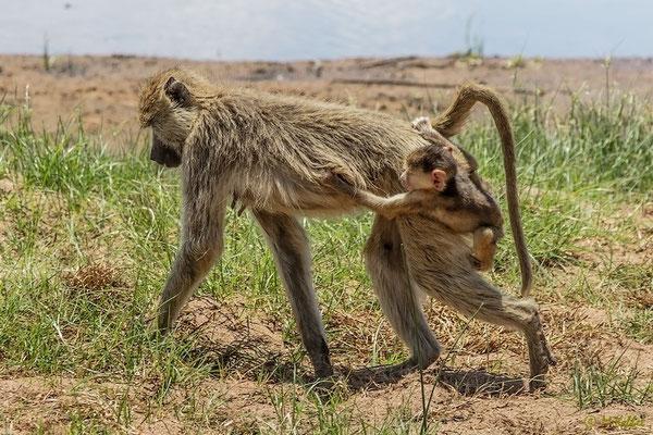 Tansania: Pavian