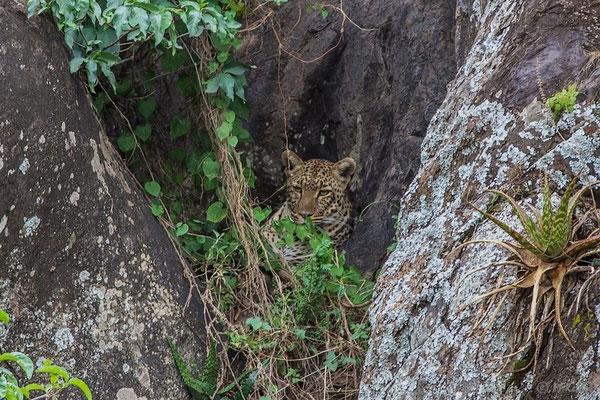 Tansania: Leopard