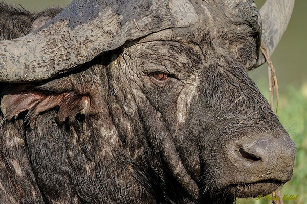 Südafrika: Büffel - Ruhepause
