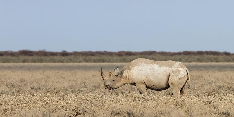 Namibia: Spitzmaulnashorn
