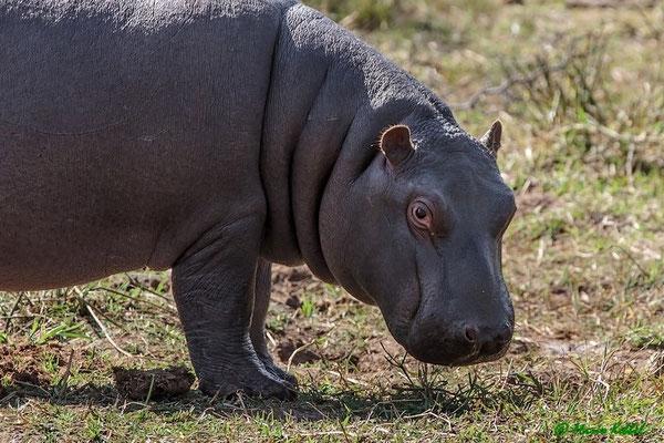Südafrika: Flusspferd - Auf Nahrungssuche