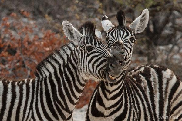 Namibia: Steppenzebras