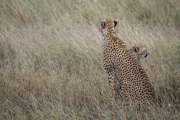Tansania: Gepard