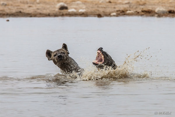 Namibia: Tüpfelhyäne