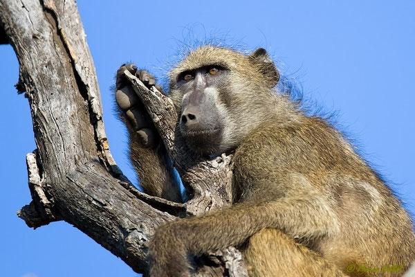 Südafrika: Pavian - Träumer
