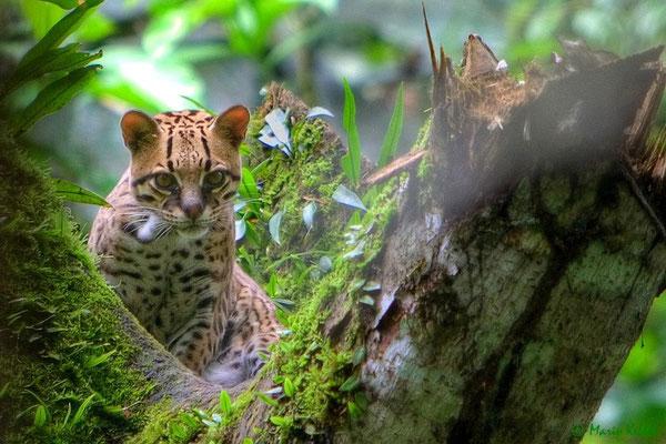 Ozelot im Dschungel