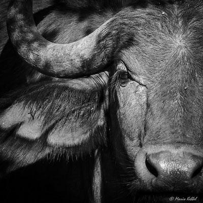 Südafrika: Büffel - Ganz Nah