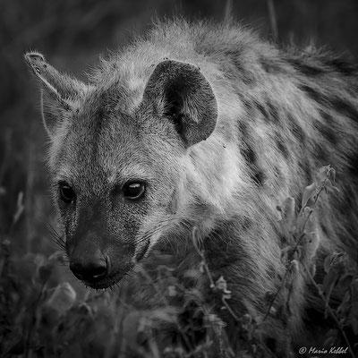 Südafrika: Tüpfelhyäne - Im Anmarsch