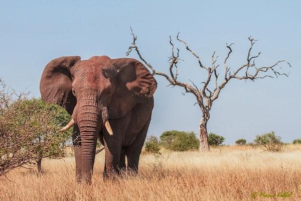 Südafrika: Elefant - Nahrungsaufnahme