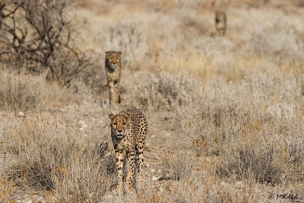 Namibia: Geparde