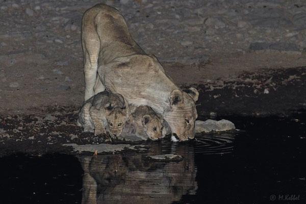 Namibia: Löwin mit Nachwuchs