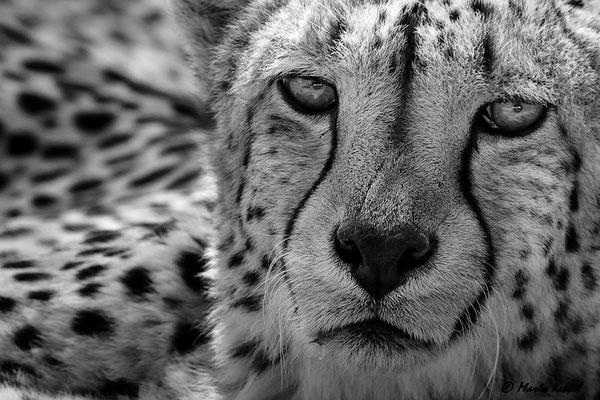 Südafrika: Gepard - Hunters Eyes