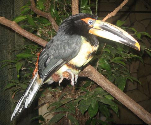Pteroglossus erythropygius (Pale-billed Aracari)