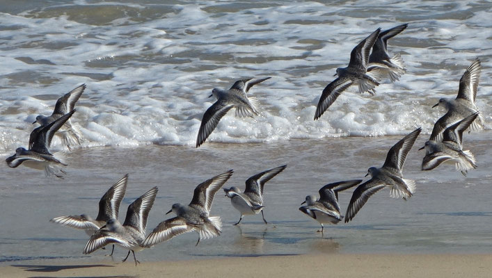 Sanderlings (Calidris alba) are often gregarious in winter on sandy beaches, Fuerteventura.