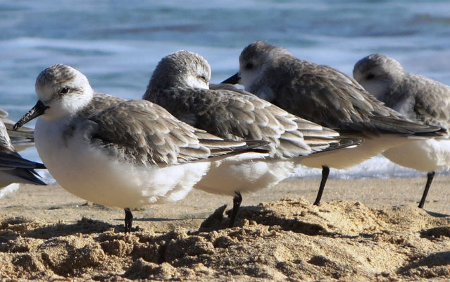 Sanderlings (Calidris alba) resting on one leg.