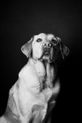 photographe chien studio, séance photo chien studio, portrait chien schipperke, photographe animalier toulouse, photo labrador