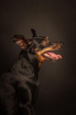 photographe chien studio, séance photo chien studio, portrait chien pinscher, photographe animalier toulouse, photo pinscher