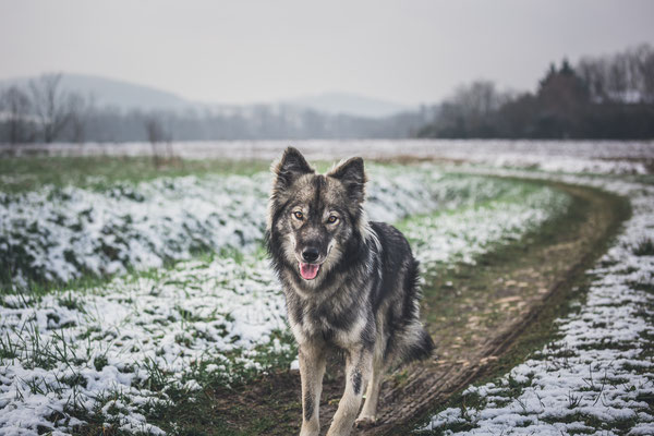 photographe chien toulouse, photo chien extérieur, séance photo chien toulouse, portrait animalier, tamaskan