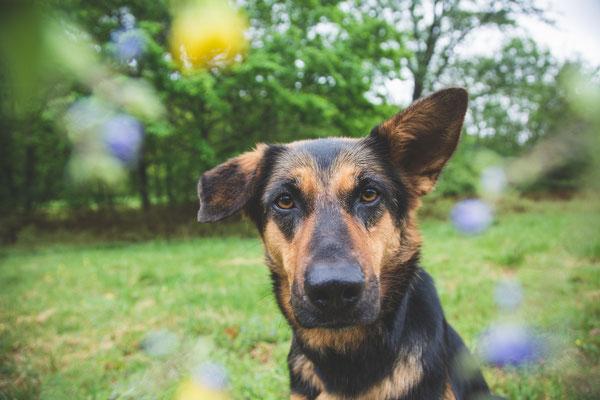 photographe chien toulouse, photo chien extérieur, séance photo chien toulouse, photographe animalier