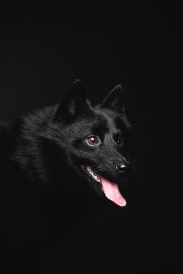 photographe chien studio, séance photo chien studio, portrait chien schipperke, photographe animalier toulouse, photo schipperke