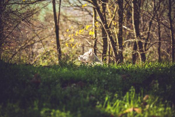 photographe chiot toulouse, photo chien extérieur, photographe animalier toulouse, séance photo chien toulouse, photo chiot husky cuivre